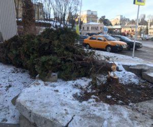 В Кисловодске ищут вредителя, сломавшего тую
