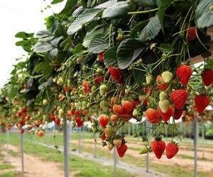 В теплицах под Кисловодском собираются выращивать клубнику