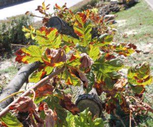 Взамен пораженных болезнью деревьев высадят новые