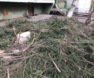 Вместо трех снесенных деревьев управляющая компания «Вершина» высадит 15 крупномерных саженцев